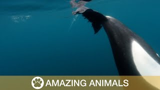 Orcas Caught Slapping Stingray With Tail
