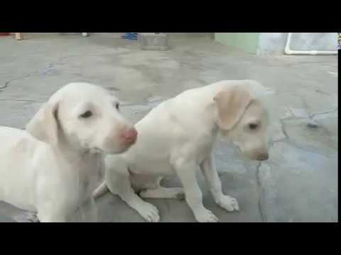 50 DAYS OLD RAJAPALAYAM PUPPIES EAT RAW MEAT