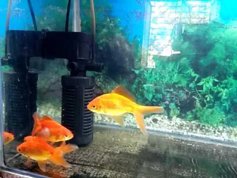 My Goldfish 🐠 And Gourami