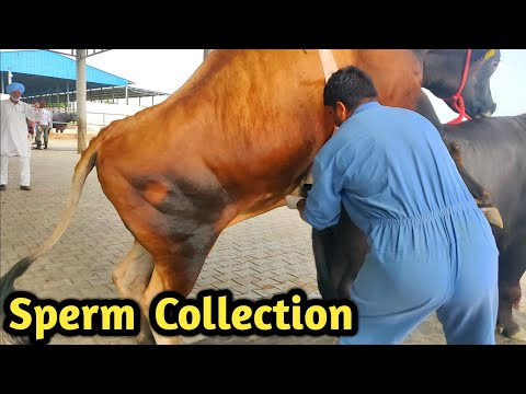 How Collect semen Of Bull @ Bovine Sperm Station India|Farming Technology