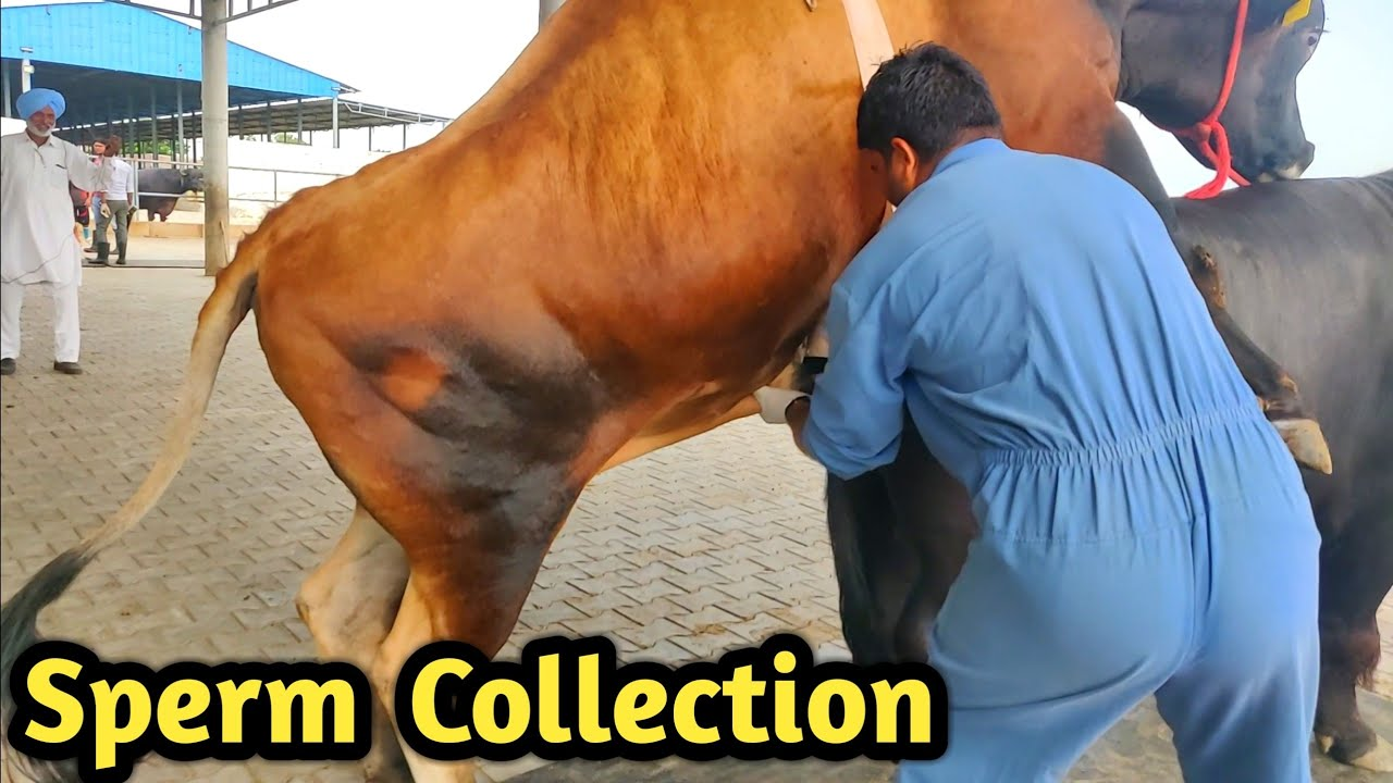 Download How Collect semen Of Bull @ Bovine Sperm Station India|Farming Technology