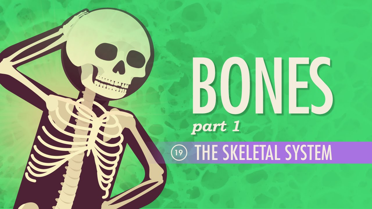 small resolution of The Skeletal System: Crash Course A\u0026P #19 - YouTube