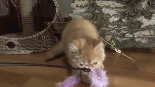 Рыжий экзотический короткошерстный котенок