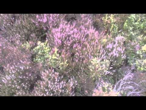 Пчеловодство в Англии. Обзор цветения вереска.