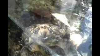 The San Diego Zoo - Alligator Snapping Turtle