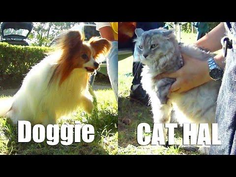 Dog vs Cat HAL/ 猫と遊びたいかわいい犬のパピヨン!