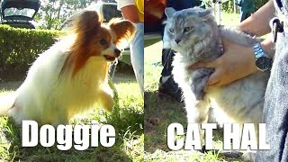 Atom the dog (papillon) loves to play with cats wants to play with ...