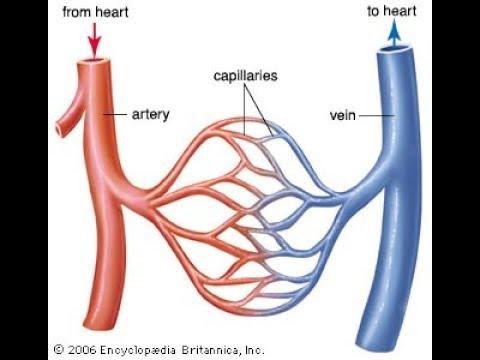 Artery vs Vein - YouTube