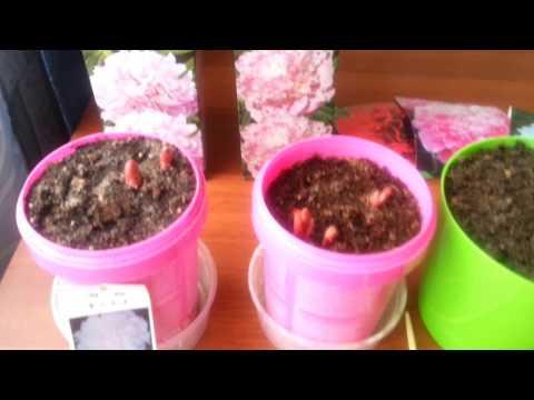 Как выращивать пионы дома в горшках