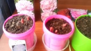 Выращивание комнатных пионов в домашних условиях