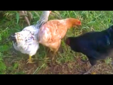 roosters-and-hens-mating-in-love