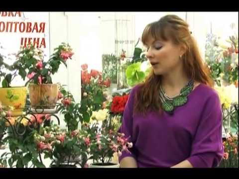 Цветок комнатная фуксия фото сортов и уход в домашних