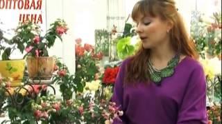 Уход за комнатными растениями от Ирины. Фуксия(, 2013-06-26T15:53:13.000Z)