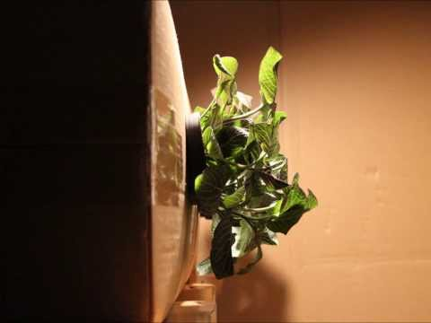 Plants Are On The Move! A Gravitropism Timelapse.