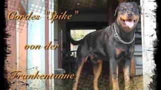 Rottweiler Vom Rheinufer