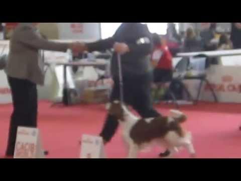 Welsh Springer Spaniel CACIB challenge for bitches - World Show Milano 2015