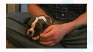 English Bulldog and Boxer mix Puppies (ZeeZee's pups)