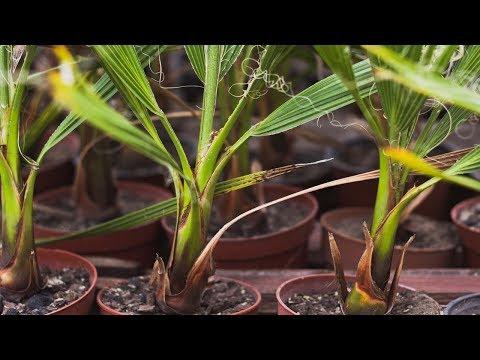 Пересаживаем пальму правильно | Вашингтония нитеносная