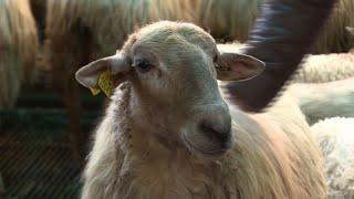 Pays Basque: face à la crise du lait, des éleveurs s'organisent