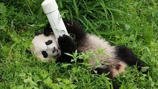 Giant Panda Bao Bao Playing and Tumbling