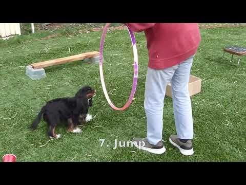 Cavalier King Charles Spaniel Does Dog Tricks
