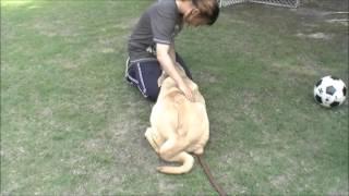 大型犬の子犬(稀少犬種)をご希望の方はこちらから! http://www.masak...
