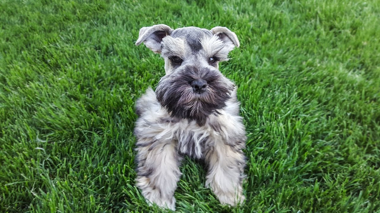 Maya Miniature Schnauzer Puppy For Sale 11 Weeks Youtube