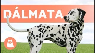 El perro DÁLMATA - Características y curiosidades YouTube Videos