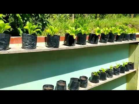 pemanfaatan lahan sempit belakang rumah. sayuran organik