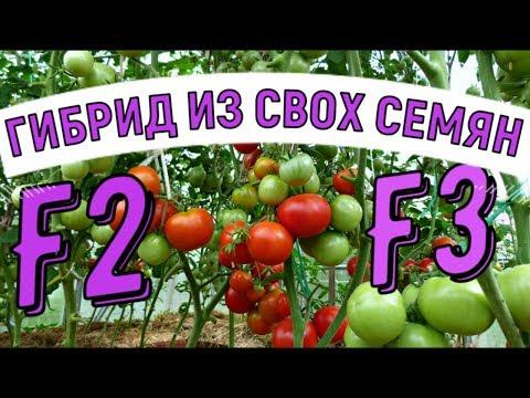 СВОИ СЕМЕНА  ТОМАТОВ ГИБРИДОВ F1  ВЫРАЩИВАНИЕ | помидоров | семенами | томатов | собрать | гибриды | семена | своими | сажать | такое | свои