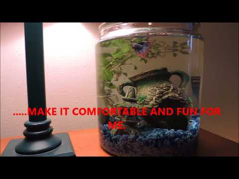 HOW TO CARE FOR A BETTA FISH - CROWNTAIL