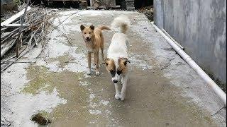 发布中华田园犬(中国土狗)视频资讯,阿黄、小白、螃蟹、灰灰等等狗狗...