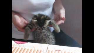 Отдам ласкового котенка в добрые руки, котенок танцует