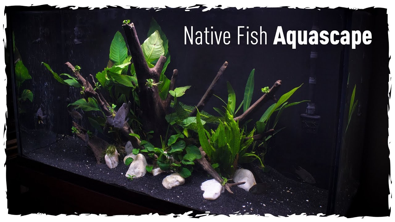 Native Fish Aquascape (Scape, Setup & Stock) - YouTube