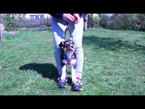 10 Weeks Old Border Collie Puppy    Trick Training