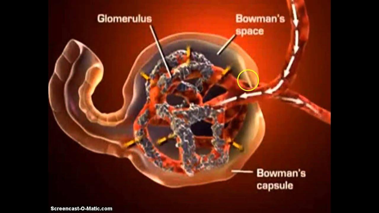 fisiologia del sistema renal - YouTube