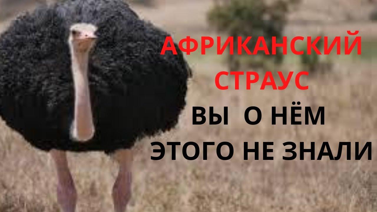 Африканские страусы интересные факты. Страус в деле.