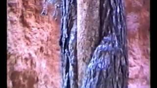 1991 - Il grande pino del Bryce Canyon National Park (albero dentro ad un altro)