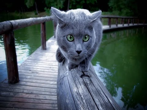 Russian Blue Cat Breed | Things to Know of Russian Blue Cat Breed