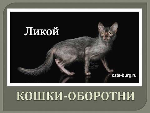 Кошка породы Бамбино - YouTube