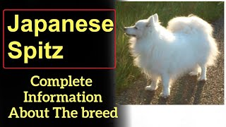 Japanese Spitz. Pros and Cons, Price, How to choose, Facts, Care, History