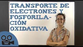 Transporte de electrones y fosforilación oxidativa