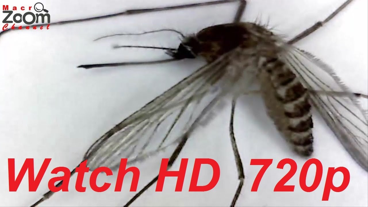 Mosquito-Gnat 2 (Close-Up Anatomy) - YouTube