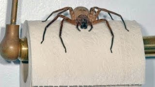 BACKPACKER WARNING! GIANT AUSTRALIAN SPIDERS!!