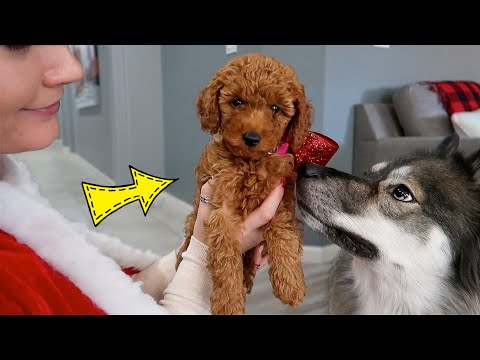 Surprising My Dogs With A Puppy!