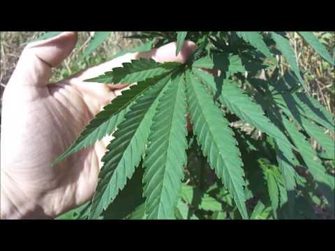 Конопля Посевная /  Cannabis sativa
