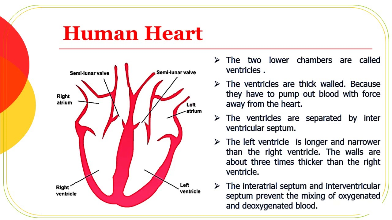 Structure of Human Heart Class 10 Science(Zoology) - YouTube