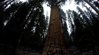 USA #29/1: Generał Sherman w Parku Sekwoi - największe drzewo świata