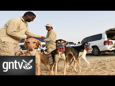 Salukis: Bedouin's best friend