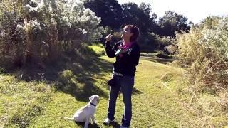 Puppy Leash Training Lab Puppy Simba